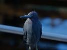 SJR08-Little Blue-0.jpg